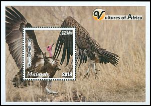 Cl: Hooded Vulture (Necrosyrtes monachus) new (2018)  [11/51]