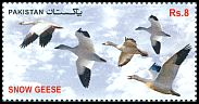 Cl: Snow Goose (Chen caerulescens)(Out of range)  SG 1462 (2012)  [11/4]
