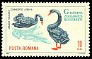 Cl: Black Swan (Cygnus atratus)(Out of range)  SG 3198 (1964) 40 [11/25]