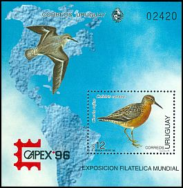 Cl: Red Knot (Calidris canutus) <<Chorlo rojizo>>  SG 2272 (1996) 875
