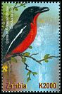 Cl: Crimson-breasted Gonolek (Laniarius atrococcineus)(not catalogued)  (2001)